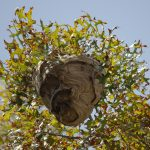 wasp nest hanging in a tree